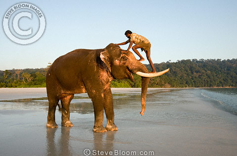 Mahout climbing onto Indian elephant, Andaman Islands