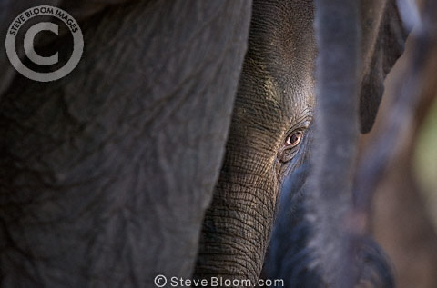 Indian elephant baby, Bandhavgarh, India.