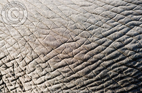 Indian elephant skin, Andaman Islands