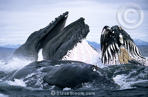Humpback Whales lunge feeding,  Frederick Sound, Southeast Alaska