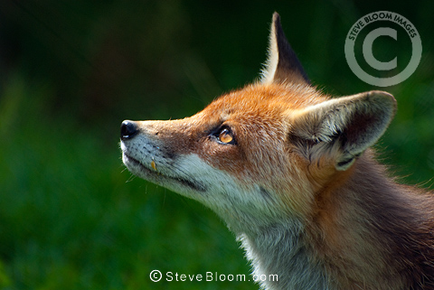 Red Fox, British Wildlife Centre, UK (captive)