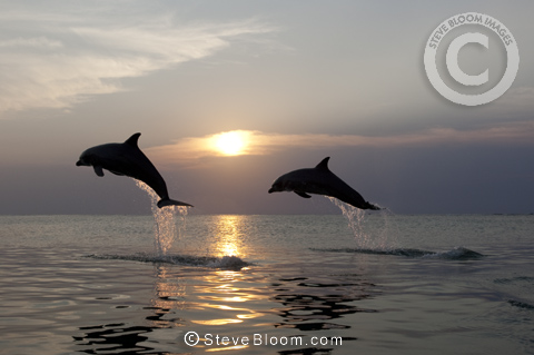 Bottlenose Dolphins at sunset, Honduras