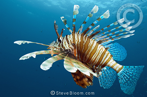 Lionfish,  Red Sea, Egypt