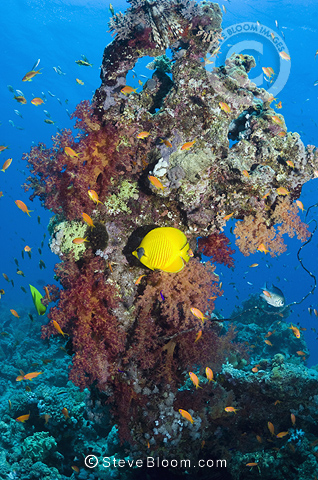 Golden butterflyfish with soft corals on reef.  Egypt, Red Sea.