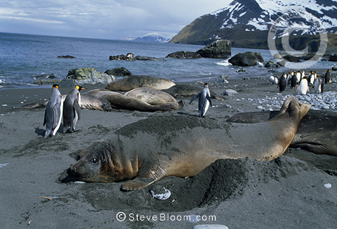 Elephant seals and King penguins, Gold Harbour, South Georgia