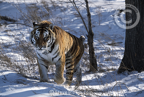Siberian Tiger, Northern China