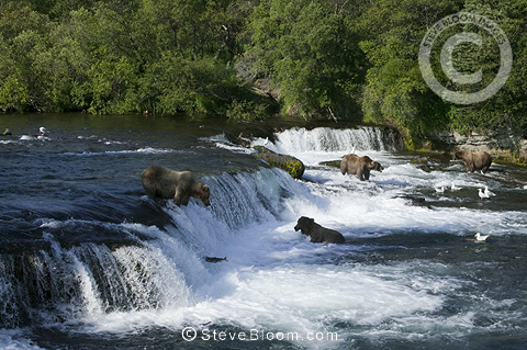 Brown bears, Brooks Falls, Katmai National Park, Alaska