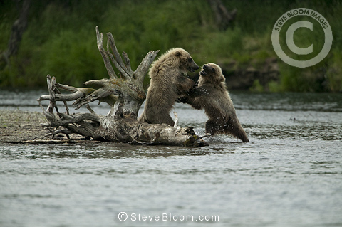 Young brown bears sparring, Katmai National Park, Alaska