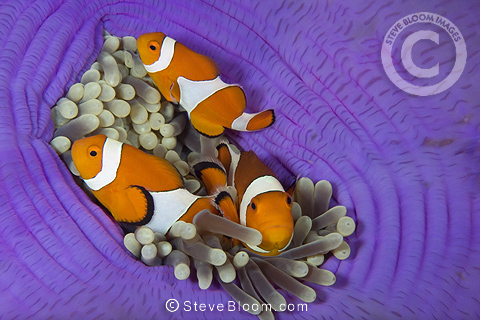 False Clownfish, Lighthouse Reef, Cabilao Island, Philippines, Pacific