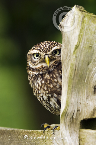 Little Owl on fence post in farmland, Surrey, England. (Controlled Conditions).