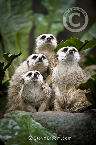 Family group of Meerkats or Suricats . From Kalahari Desert, Botswana / South Africa. Photographed in captivity at Singapore Zoo.