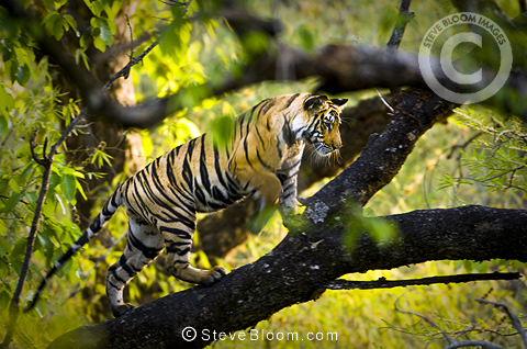 Adolescent male Bengal Tiger (around 15 months old) climbing a tree, Bandhavgarh NP, Madhya Pradesh, India.