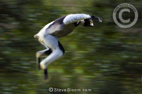Adult Indri lemur leaping through rainforest canopy, Andasibe-Mantadia National Park, eastern Madagascar.
