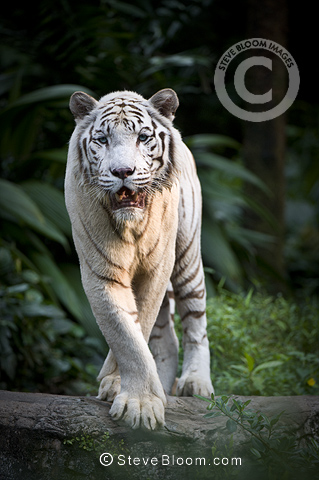 Male White Tiger . Double recessive gene produces pale colour morph. Original wild individuals occurred near Rewa in India. Now only in captivity. Photographed in captivity at Singapore Zoo.