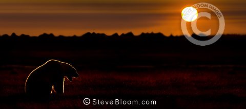 Adult Polar Bear at sunset. On tundra vegetation on shores of Hudson Bay, Canada (late Sept).