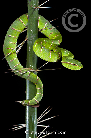 Adult Wagler's Pit Viper in thorns on the stemless Asam Paya Palm. Bako NP, Sarawak, Borneo.