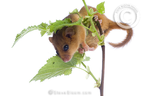 Hazel dormouse, Kent, UK