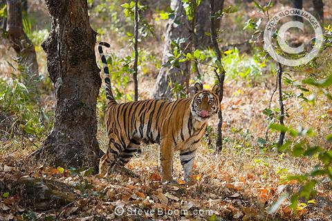Bengal Tiger Marking His Territory Bandhavgarh National
