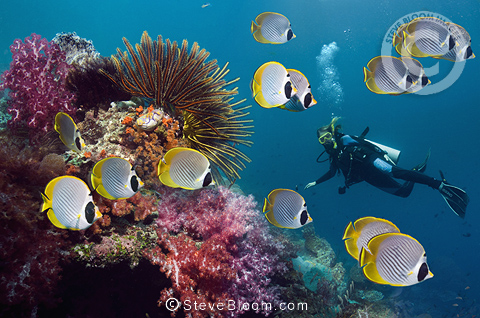 Panda butterflyfish with featherstars and soft corals on coral reef and woman diver in background.  Misool, Raja Empat, West Papua, Indonesia.