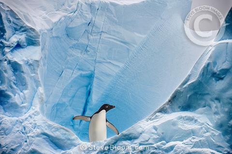 Adelie Penguin on iceberg, Graham Passage, Antarctic Peninsula, Antarctica.