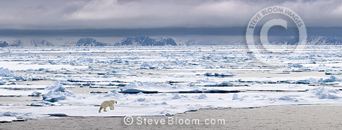 Polar Bear  walking on ice floe, Woodfjorden, northern Spitsbergen, Svalbard, Arctic Norway.