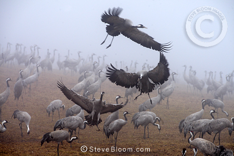 Common Cranes in early morning fog in spring, Hornborgasjoen Lake, Sweden