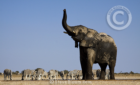 African elephant and zebras at Waterhole, Etosha National Park, Namibia