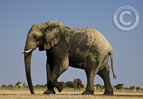 African elephant at Waterhole, Etosha National Park, Namibia