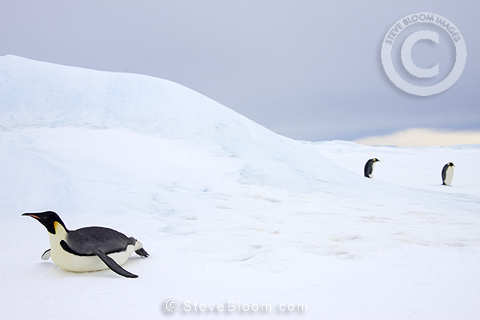 Emperor penguin toboganning on sea ice near colony, Snow Hill Island, Weddell Sea, Antarctica.