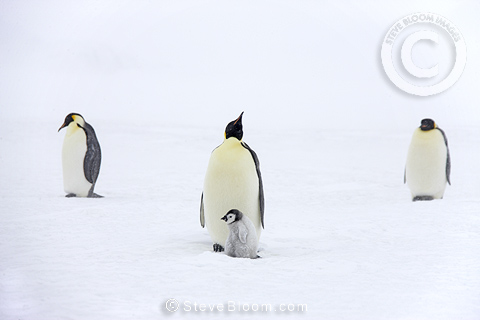 Emperor penguins with chick, October, Snow Hill Island, Weddell Sea, Antarctica.