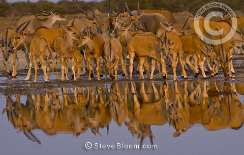 Eland herd at waterhole, Etosha National Park, Namibia.