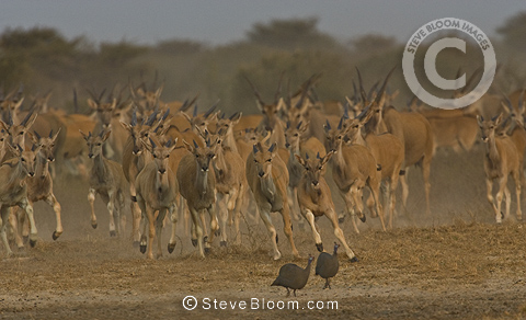 Eland herd running towards waterhole, Etosha National Park, Namibia.