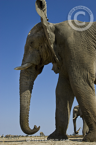 African elephant from low angle, Etosha National Park, Namibia.