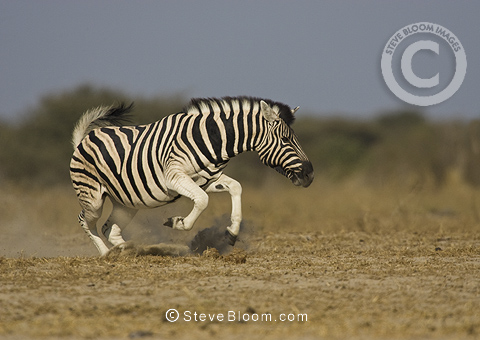 Burchell's zebradisplaying, Etosha National Park, Namibia.