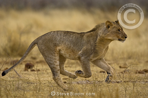 Young African lion running, Etosha National Park, Namibia