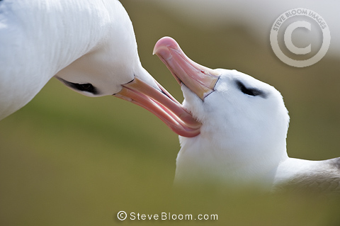Black-browed Albatross preening at breeding colony, Saunders Island, Falkland Islands, South Atlantic.