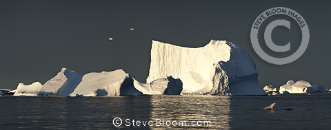 Kelp Gulls flying over icebergs and ice formations at sunrise, with Humpback Whale in the foreground. Vernadsky, Antarctic Peninsula, Antarctica.