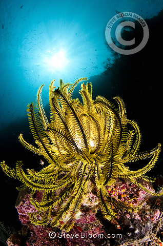 Orange sea lily and corals on underwater reef with backlight, Sipadan, Malaysia