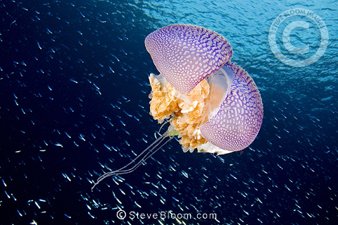 Injured White spotted jellyfish surrounded by small fishes, Raja Ampat, Irian Jaya, Indonesia