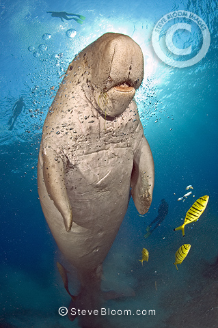 Dugong with divers in the background, Marsa Abu Dabab, Red Sea, Egypt