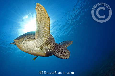 Swimming Green turtle, Marsa Abu Dabab, Egypt