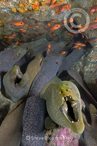 Group of Panamic Green Moray Eels, Malpelo, Columbia