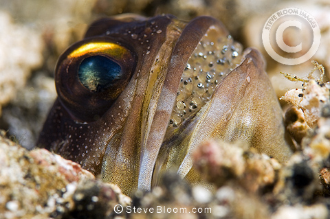 Black jawfish with eggs, Lembeh, Indonesia