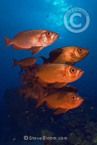 School of Crescent-tail Bigeye, Red Sea, Egypt