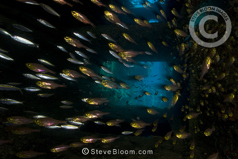 Group of glassfishes inside shipwreck, Red Sea, Sudan