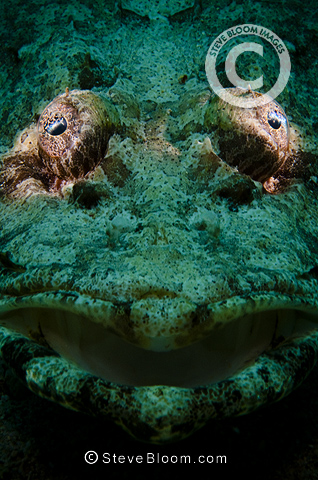 Indian Ocean crocodilefish, Red Sea, Egypt