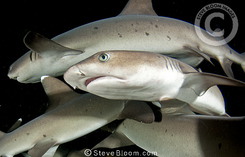 Group of White tip reef sharks, Cocos island, Costa Rica