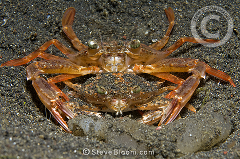 Swimmer crabs mating, Lembeh, Indonesia