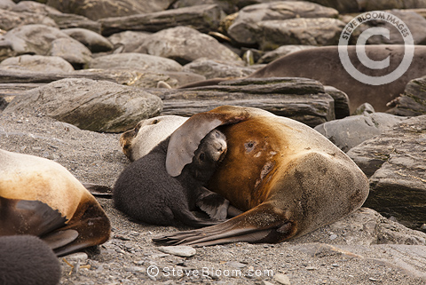Antarctic Fur Seal mother and five day old  baby on beach, Godthul Beach, South Georgia