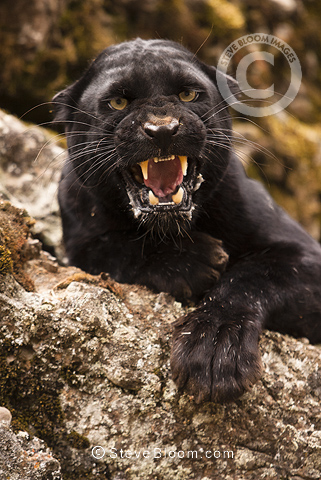 Angry black jaguar - photo#27